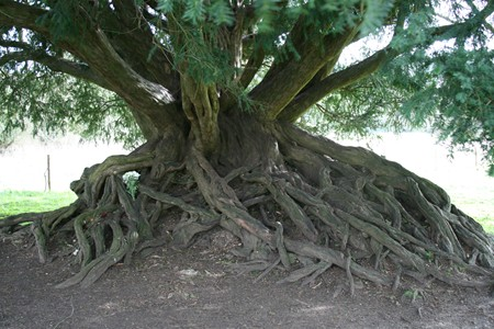The yew tree at Waverley Abbey